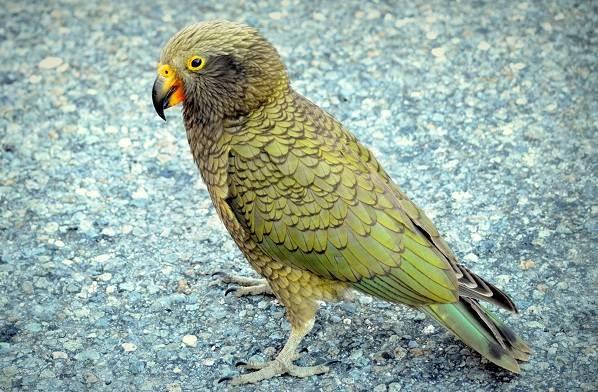 Виды-попугаев-Описания-названия-и-особенности-видов-попугаев-34