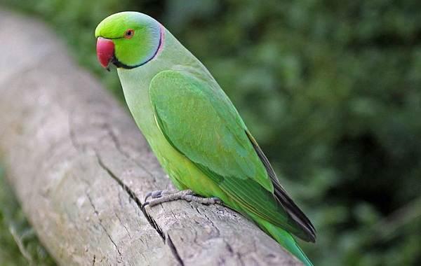 Виды-попугаев-Описания-названия-и-особенности-видов-попугаев-37