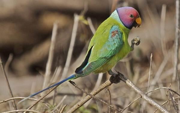 Виды-попугаев-Описания-названия-и-особенности-видов-попугаев-38