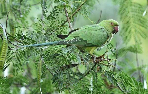 Виды-попугаев-Описания-названия-и-особенности-видов-попугаев-39