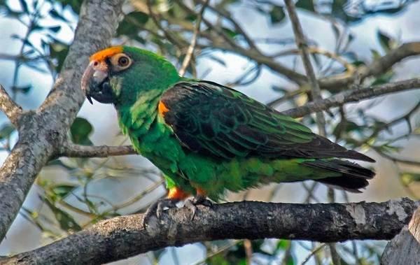 Виды-попугаев-Описания-названия-и-особенности-видов-попугаев-40