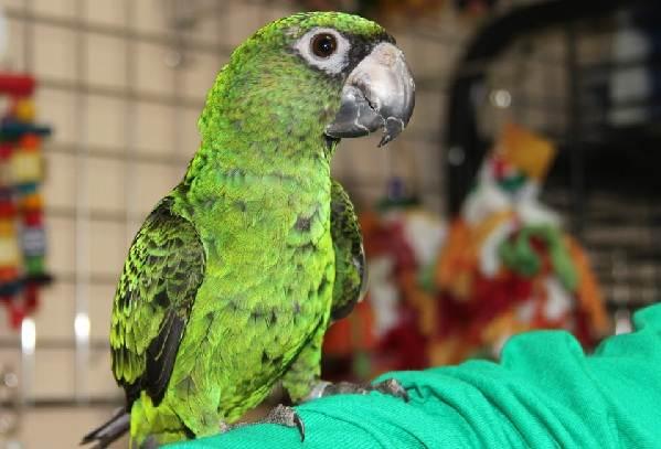 Виды-попугаев-Описания-названия-и-особенности-видов-попугаев-41
