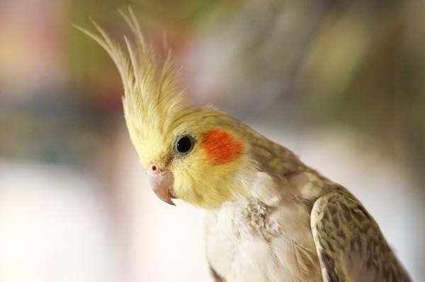 Виды-попугаев-Описания-названия-и-особенности-видов-попугаев-42