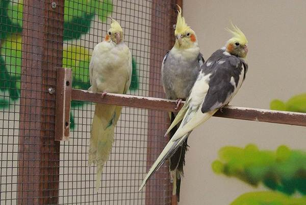 Виды-попугаев-Описания-названия-и-особенности-видов-попугаев-43