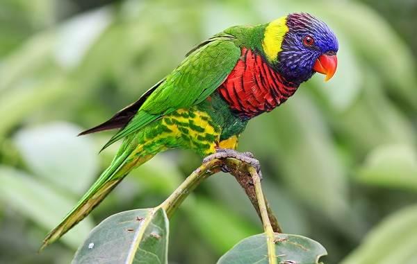 Виды-попугаев-Описания-названия-и-особенности-видов-попугаев-45