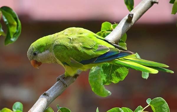 Виды-попугаев-Описания-названия-и-особенности-видов-попугаев-47