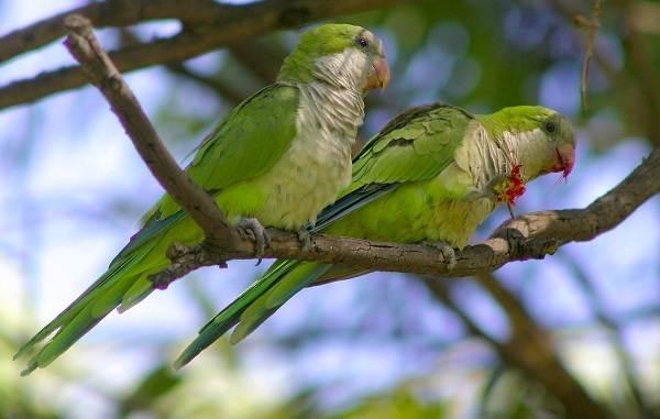 Виды-попугаев-Описания-названия-и-особенности-видов-попугаев-48