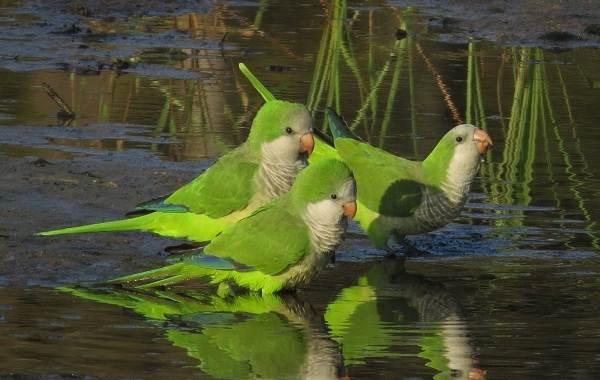Виды-попугаев-Описания-названия-и-особенности-видов-попугаев-49