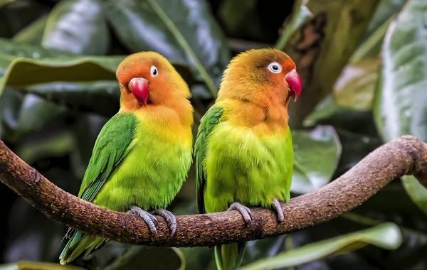 Виды-попугаев-Описания-названия-и-особенности-видов-попугаев-50