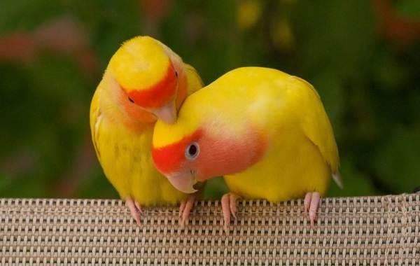 Виды-попугаев-Описания-названия-и-особенности-видов-попугаев-51