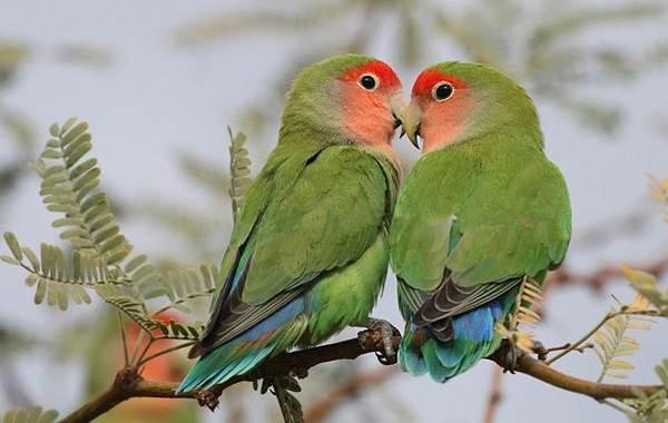 Виды-попугаев-Описания-названия-и-особенности-видов-попугаев-52