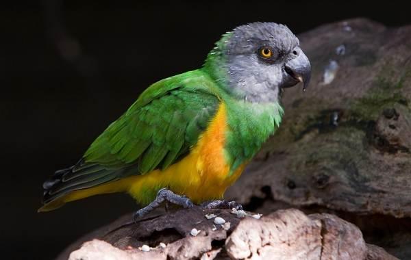 Виды-попугаев-Описания-названия-и-особенности-видов-попугаев-54