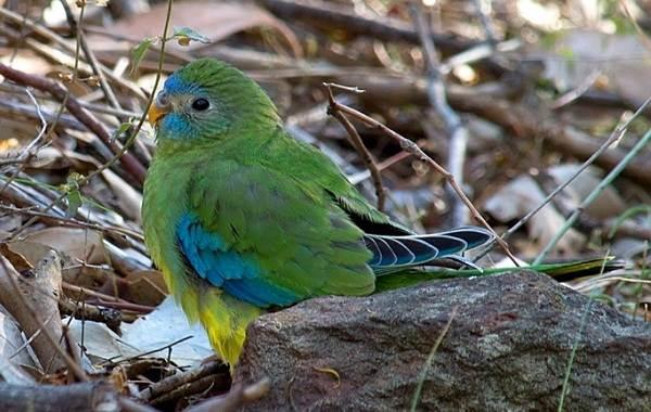 Виды-попугаев-Описания-названия-и-особенности-видов-попугаев-56