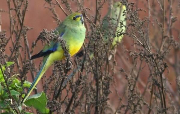 Виды-попугаев-Описания-названия-и-особенности-видов-попугаев-57