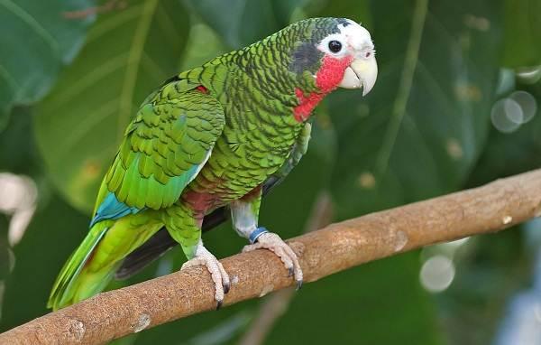 Виды-попугаев-Описания-названия-и-особенности-видов-попугаев-6