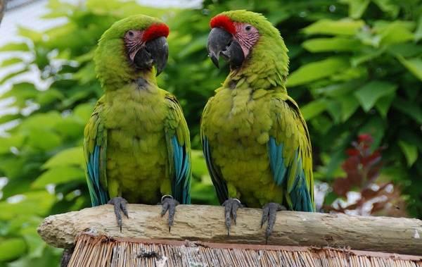 Виды-попугаев-Описания-названия-и-особенности-видов-попугаев-7