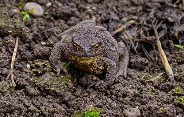 Земляная-жаба-Описание-особенности-виды-и-среда-обитания-земляной-жабы-1