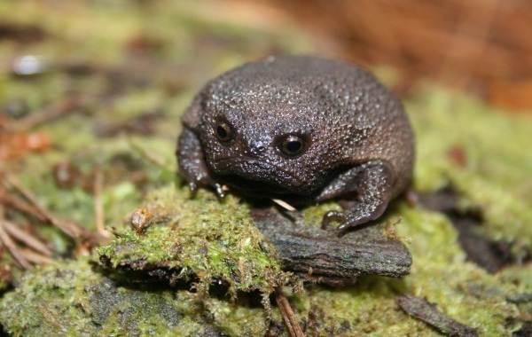 Земляная-жаба-Описание-особенности-виды-и-среда-обитания-земляной-жабы-10