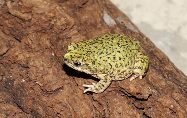 Земляная-жаба-Описание-особенности-виды-и-среда-обитания-земляной-жабы-11