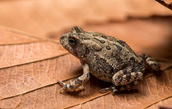 Земляная-жаба-Описание-особенности-виды-и-среда-обитания-земляной-жабы-12