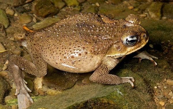 Земляная-жаба-Описание-особенности-виды-и-среда-обитания-земляной-жабы-13