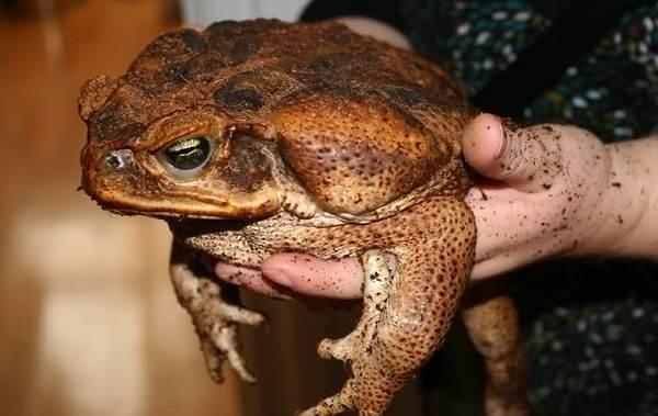 Земляная-жаба-Описание-особенности-виды-и-среда-обитания-земляной-жабы-16