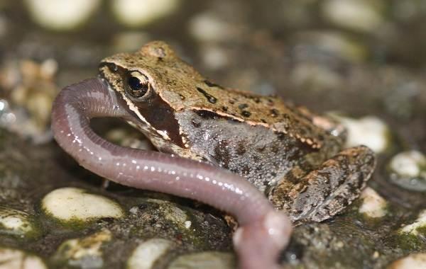 Земляная-жаба-Описание-особенности-виды-и-среда-обитания-земляной-жабы-17