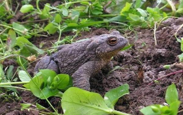 Земляная-жаба-Описание-особенности-виды-и-среда-обитания-земляной-жабы-2