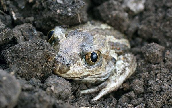 Земляная-жаба-Описание-особенности-виды-и-среда-обитания-земляной-жабы-20