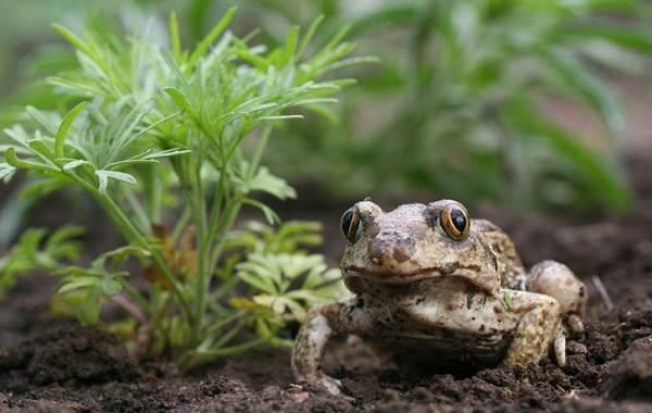 Земляная-жаба-Описание-особенности-виды-и-среда-обитания-земляной-жабы-3