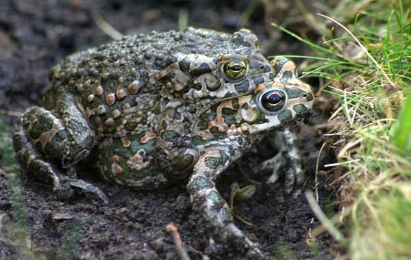Земляная-жаба-Описание-особенности-виды-и-среда-обитания-земляной-жабы-4