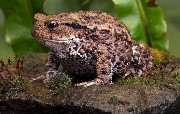 Земляная-жаба-Описание-особенности-виды-и-среда-обитания-земляной-жабы-5