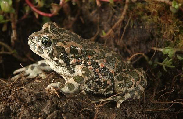 Земляная-жаба-Описание-особенности-виды-и-среда-обитания-земляной-жабы-6