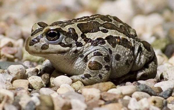 Земляная-жаба-Описание-особенности-виды-и-среда-обитания-земляной-жабы-7