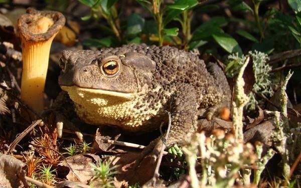 Земляная-жаба-Описание-особенности-виды-и-среда-обитания-земляной-жабы-8