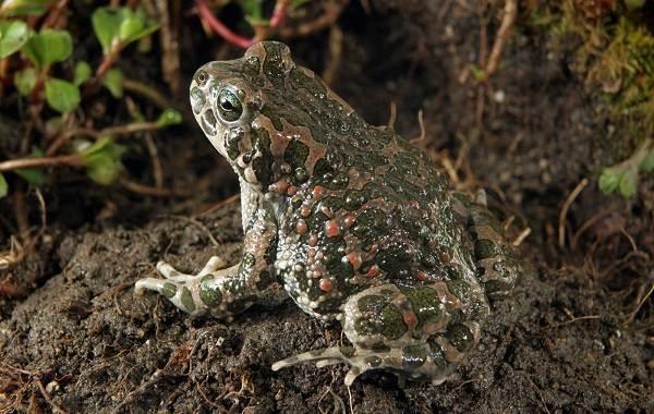 Земляная-жаба-Описание-особенности-виды-и-среда-обитания-земляной-жабы-9