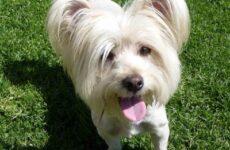 Скай терьер собака. Описание, особенности, цена и уход за скай терьером