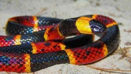 Аспид змея. Образ жизни и среда обитания змеи Аспид