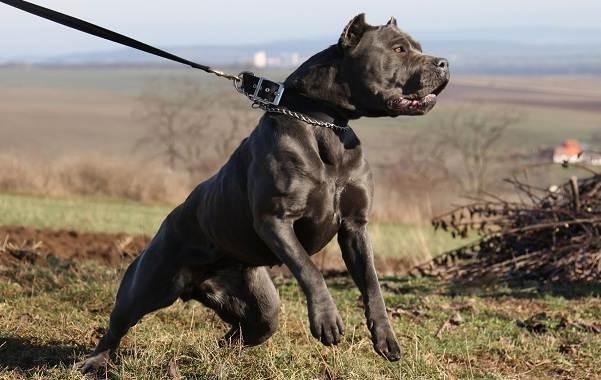 Бандог-собака-Описание-особенности-уход-и-цена-бандога-22
