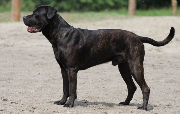 Бандог-собака-Описание-особенности-уход-и-цена-бандога-24