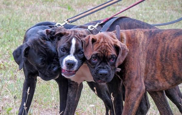 Бандог-собака-Описание-особенности-уход-и-цена-бандога-25