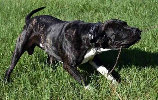 Бандог-собака-Описание-особенности-уход-и-цена-бандога-26