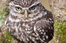Домовой сыч птица. Образ жизни и среда обитания домового сыча