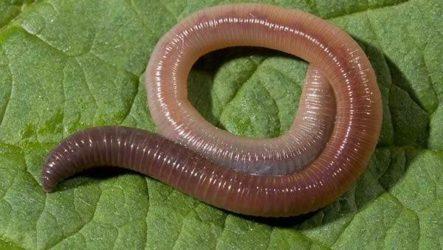 Дождевой червь. Образ жизни и среда обитания дождевого червя