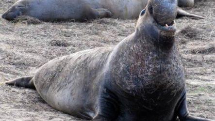 Морской слон. Образ жизни и среда обитания морского слона