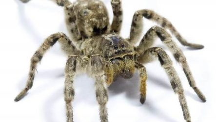 Тарантул паук. Образ жизни и среда обитания паука тарантула