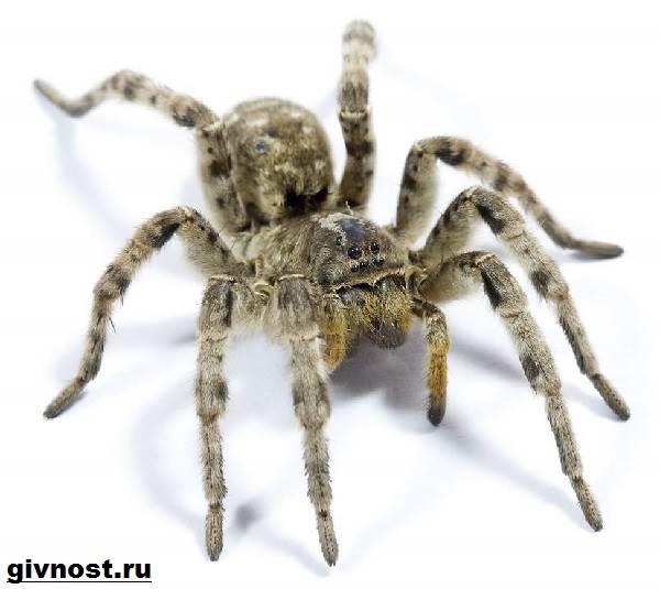 Тарантул-паук-Образ-жизни-и-среда-обитания-паука-тарантула-7