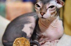 Украинский левкой кошка. Описание, особенности, уход и цена породы украинский левкой