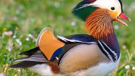 Утка мандаринка. Образ жизни и среда обитания утки мандаринки