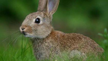 Заяц русак. Образ жизни и среда обитания зайца русака